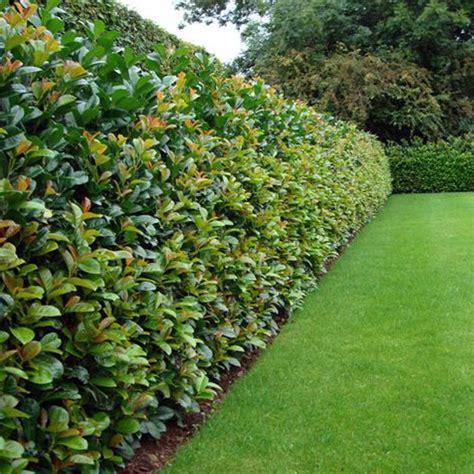 best bushes for hedges laurel etna hedge plants prunus laurocerasus etna anbri