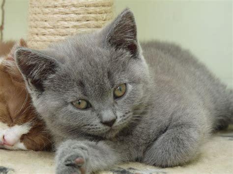 shorthair kittens for sale shorthair kittens for sale orpington kent