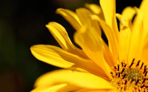 yellow flower petal - HD Desktop Wallpapers | 4k HD