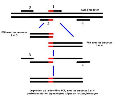 bureau de la pcr mutagenese par pcr