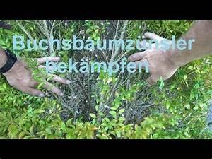 Was Hilft Gegen Buchsbaumzünsler : buchsbaumz nsler bek mpfen ohne gift buxbaumz nsler hausmittel youtube garten ~ Frokenaadalensverden.com Haus und Dekorationen