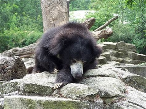 Sloth Bear Facts: Lesson for Kids | Study.com
