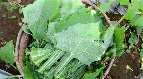 penyebab daun yakon digunakan sebagai obat