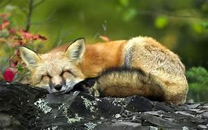 Picture of a sleeping fox