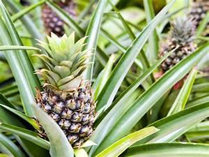 Ananas Comosus  U0026 39 Champaca U0026 39   Ornamental Pineapple