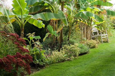 planter un bananier la plantation du bananier
