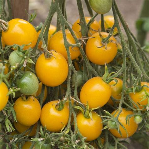 Planting your own vegetation and yielding organic vegetables is easier than ever with the aid of yellow cherry tomato seeds at alibaba.com. Tomato 'Yellow Centiflor' Hypertress Cherry Tomato