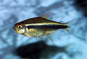 Black neon tetra red eye?