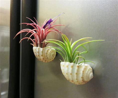 colorful mexican air plants in small sea shell magnets tiny
