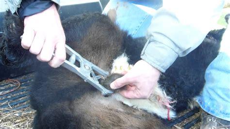 ezy banding tool calf banding  easy youtube