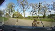 Baboons Jump on Bonnet and Damage Car at Knowsley Safari ...