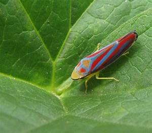 Bug Eric  True Bug Tuesday  Candystriped Leafhopper