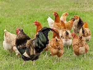 Poule Pondeuse Race : louer une poule feminin bio ~ Dallasstarsshop.com Idées de Décoration