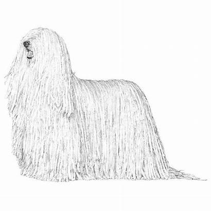 Komondor Breed Coloring Dog Embarkvet Hindquarters Puli