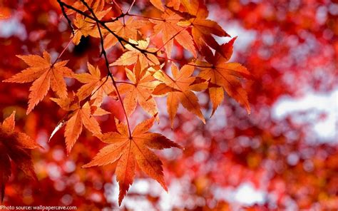 different maple tree leaves interesting facts about maple trees just fun facts