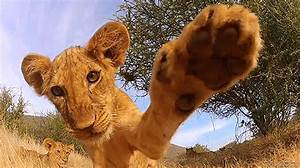 Lion Hello GIF - Find & Share on GIPHY