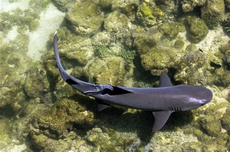 White-Tipped Reef Sharks