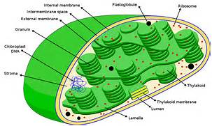 The Taming of the Chloroplast | Evolutionary Routes