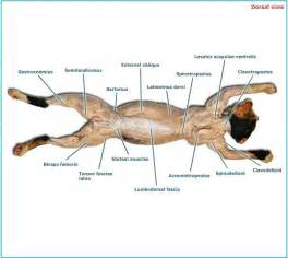 cat muscles cat muscles human anatomy and physiology with alvarez at