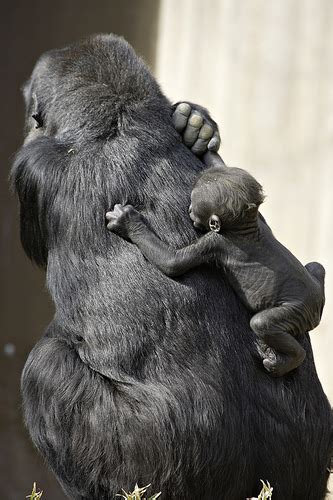 gorillas  largest primate  starts  small