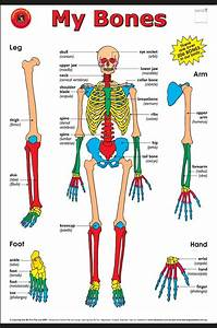 Bones Of The Human Body