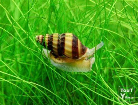 mangeur d escargot aquarium escargot mangeur d escargot anentome helena bruxelles 1000 toutypasse be