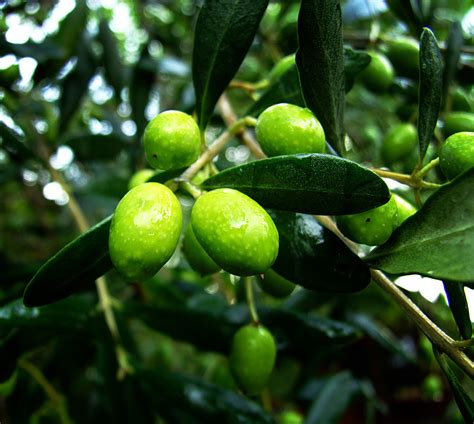 olive and olive research articles olivera