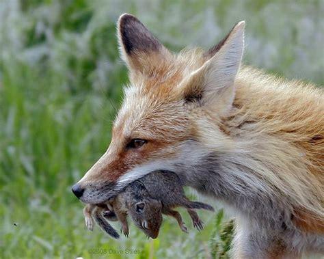 Fox attacking cat