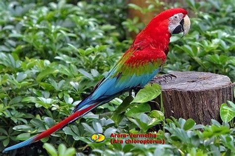 Ornitologia Araravermelha (ara Chloropterus