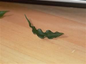 Ficus Benjamini Verliert Alle Blätter : bl tter kr useln sich ficus benjamini ~ Lizthompson.info Haus und Dekorationen