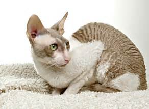 cat breeds images and information