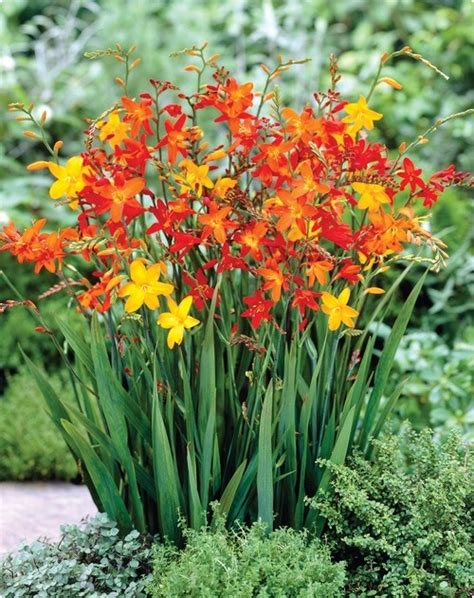 bourgondien bulbs 62 best images about ideas for the house on pinterest garden ideas garden plants and landscaping