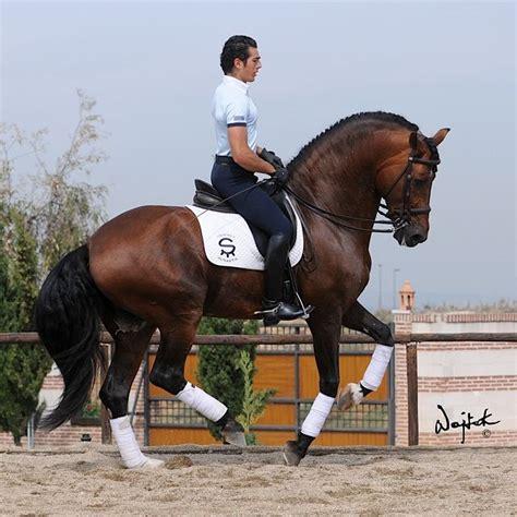 horses dressage horse andalusian spanish espanola raza pura pretty decreto caballos andalusians lusitano ride caballo pony most yeguada bailadores dreams