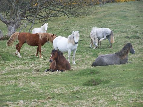 welsh wild mountain ponies pony horses breeds wales herd horse breed forest stallion section history pembrokeshire