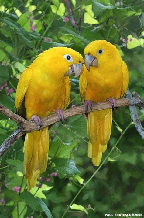 golden conure golden conures paul bratescu my favorite parrots pinterest