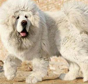 Giant fluffy white dogs | big fluffy white | Dogs 'n ...
