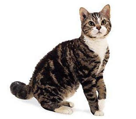 kat poes de american wirehair seniorennet website
