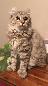 Highland Lynx Cats And Kittens