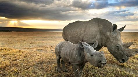 Baby Animals Wallpaper - baby rhino wallpapers baby animals