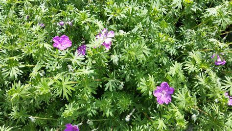 Plantes Répulsives Moustiques Geranium Odorant Anti Moustique Anti Moustiques