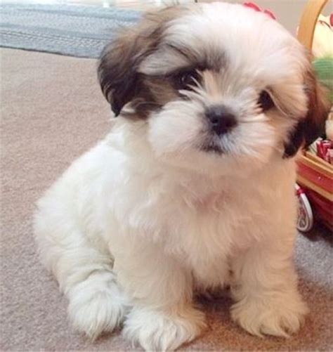 non shedding small breeds small shih tzu adoptable top low shedding