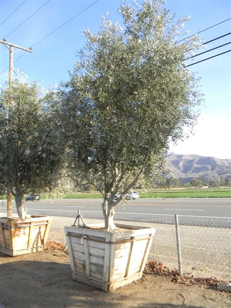 olive wilsonii wilsonii fruitless olive tree 48 quot box front yard landscape pinterest trees olives and