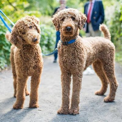 toy poodle    popular dogs