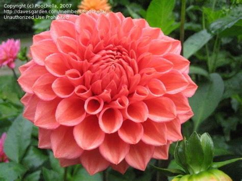 coral colored flowers plantfiles picture