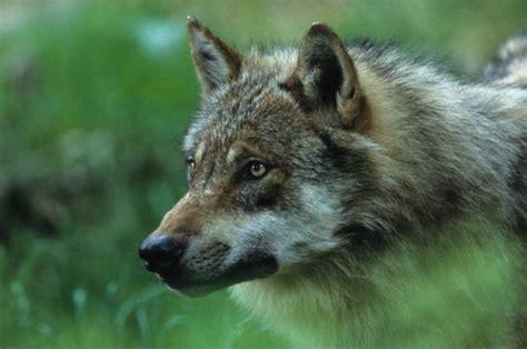 cuisine du monde reims loup 12 photos d 39 animaux sauvages en forêt de olivier hervieu et diane castanet