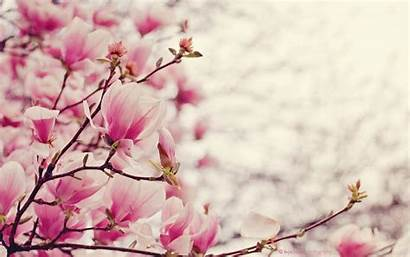 Magnolia Wallpapers Desktop Widescreen Background Backgrounds Border