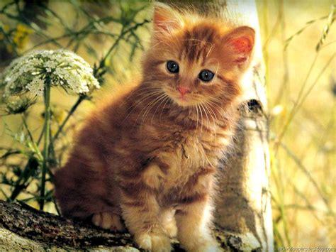 Kitten Backgrounds by Desktop Wallpaper Cats And Kittens Wallpapersafari