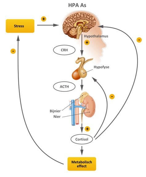 cortisol voeding