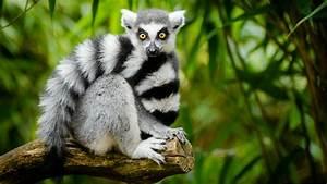 Cute Ring-taile... Cute Lemur Quotes