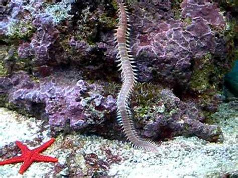 vers geant aquarium recifale